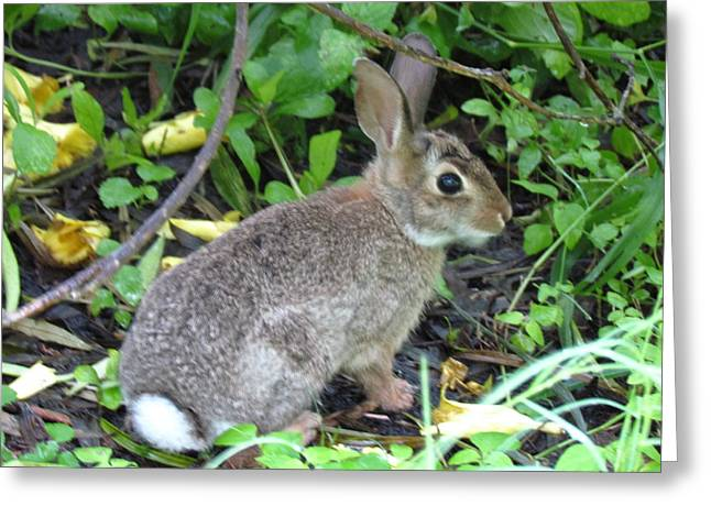 Eyebrow Greeting Cards - Cottontail Rabbit4 Greeting Card by Cobey Coles