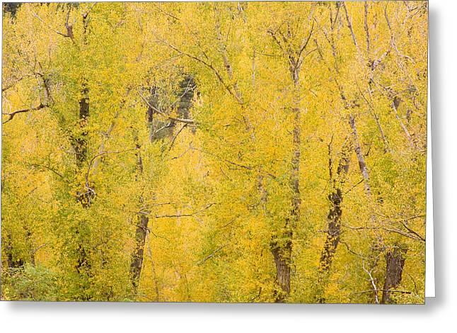 Lightning Fine Art Posters Greeting Cards - Cottonwood Autumn Colors Greeting Card by James BO  Insogna