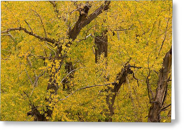 Striking Images Greeting Cards - Cottonwood Fall Foliage Colors Greeting Card by James BO  Insogna