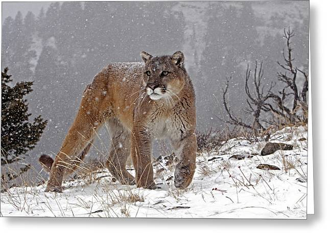 Lions Greeting Cards - Cougar in heavy snow Greeting Card by Jenny Hibbert