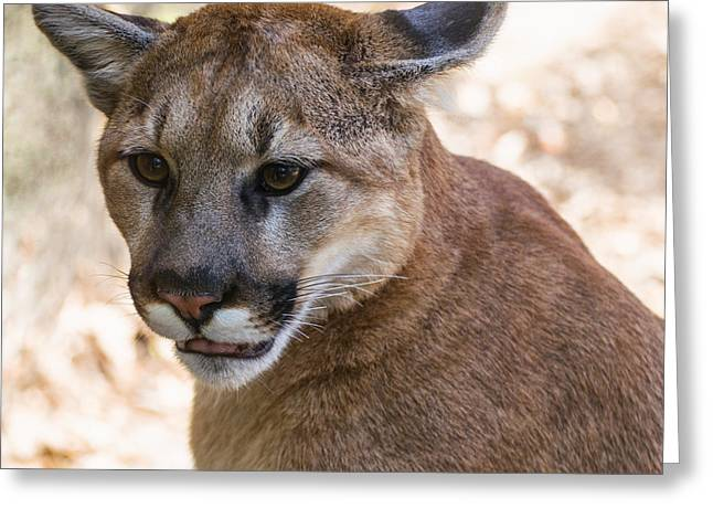 Lions Greeting Cards - Cougar Portrait Greeting Card by Chris Flees