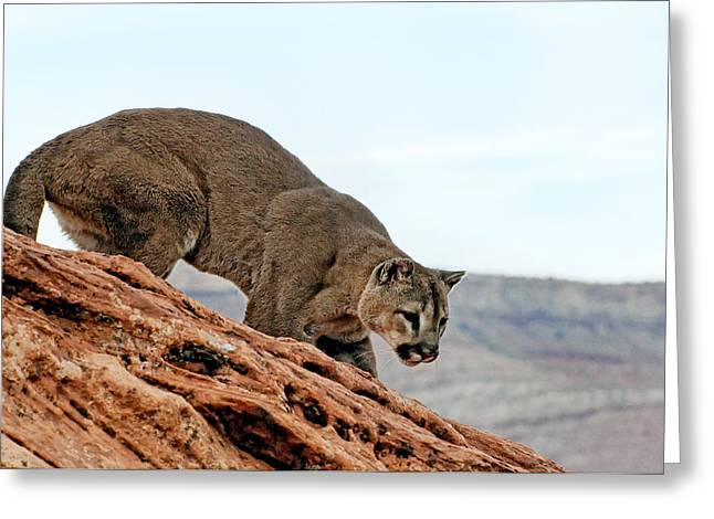 Pussy Greeting Cards - Cougar prowling Greeting Card by Melody Watson