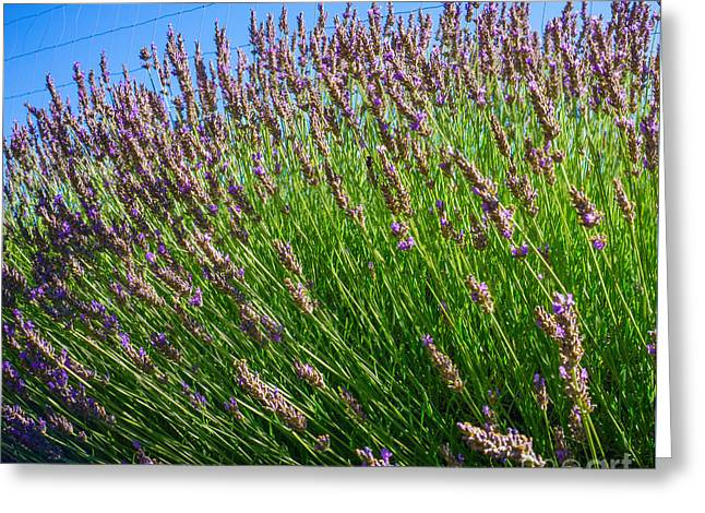 Countryside Mixed Media Greeting Cards - Country Lavender I  Greeting Card by Shari Warren