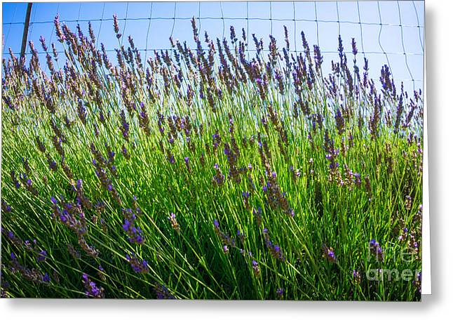 Countryside Mixed Media Greeting Cards - Country Lavender II Greeting Card by Shari Warren