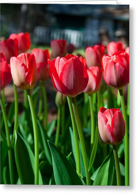 Red Farmhouse Greeting Cards - Country Red Tulips Greeting Card by Marcie  Adams