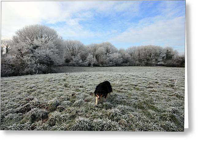 Sheepdog Greeting Cards - County Clare Lassie Greeting Card by John Quinn