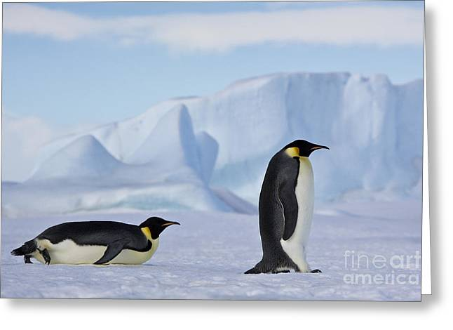 Tobogganing Greeting Cards - Couple Of Emperor Penguins Greeting Card by Jean-Louis Klein & Marie-Luce Hubert