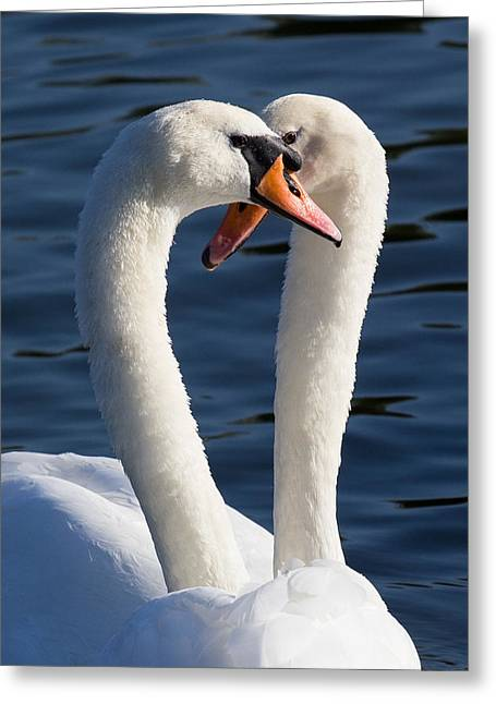 Courting Swans Greeting Card by David Pyatt