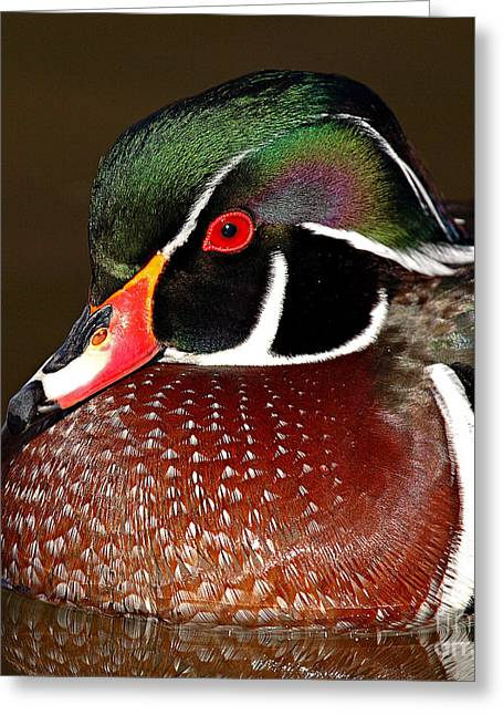 Wood Duck Greeting Cards - Courtship Colors Of A Wood Duck Drake Greeting Card by Max Allen