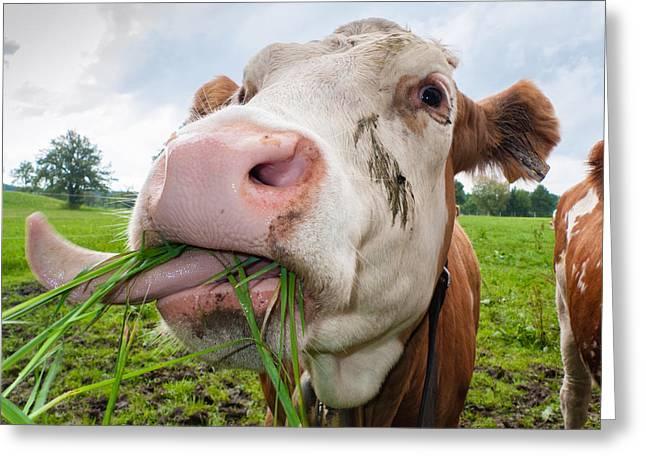 Cow Eating Fresh Grass Greeting Card by Matthias Hauser
