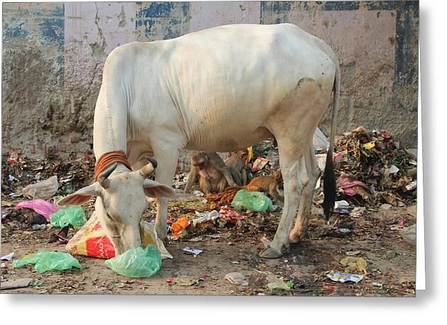 Cow Eating Garbage, Vrindavan Greeting Card by Jennifer Mazzucco