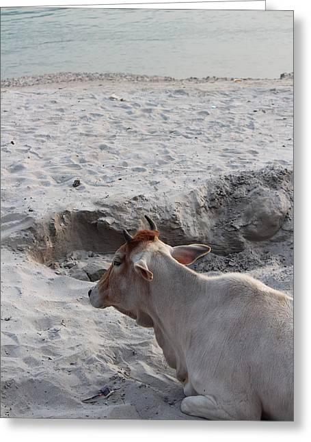 Cow Resting By The Ganga, Rishikesh Greeting Card by Jennifer Mazzucco