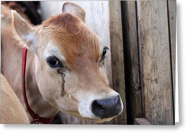 Cow Tear Greeting Card by Bonnie Brann