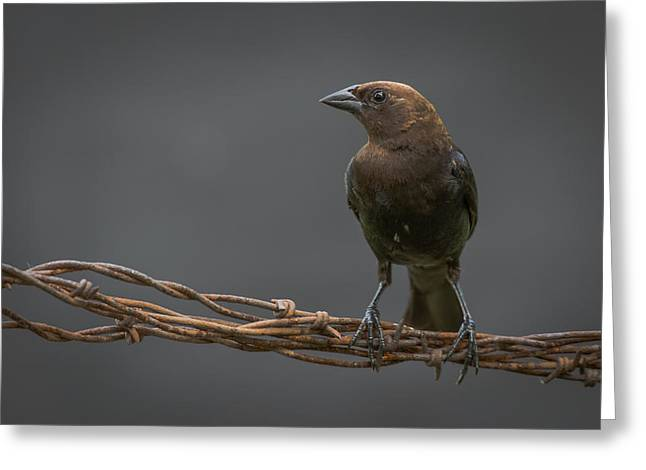 Cowbird Greeting Cards - Cowbird Greeting Card by Larry Pacey