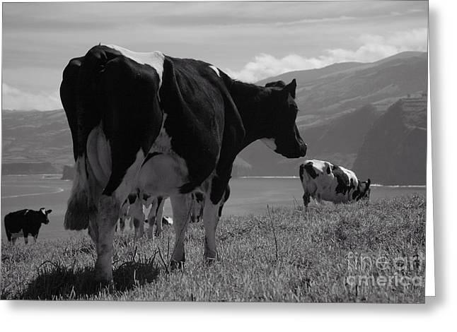 Azoren Greeting Cards - Cows Greeting Card by Gaspar Avila