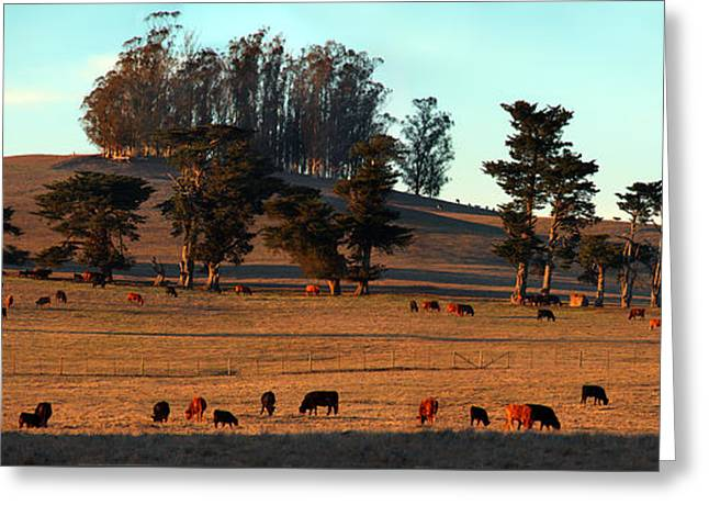 Marin County Greeting Cards - Cows Grazing into the Sunset in Marin County California Greeting Card by Wernher Krutein