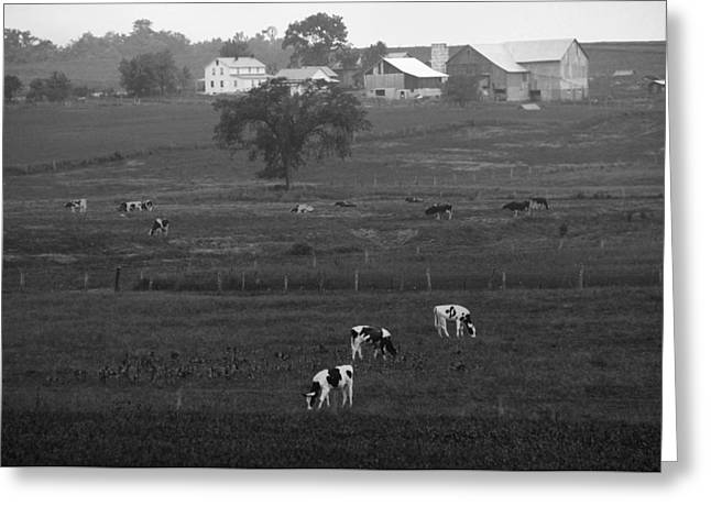 Cows On The Farm Black And White Greeting Card by Dan Sproul