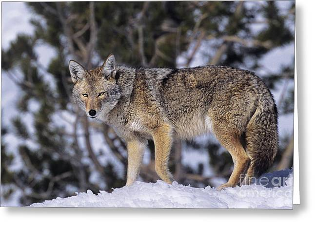 Preditor Greeting Cards - Coyote Canis Latrans Wild California Greeting Card by Dave Welling