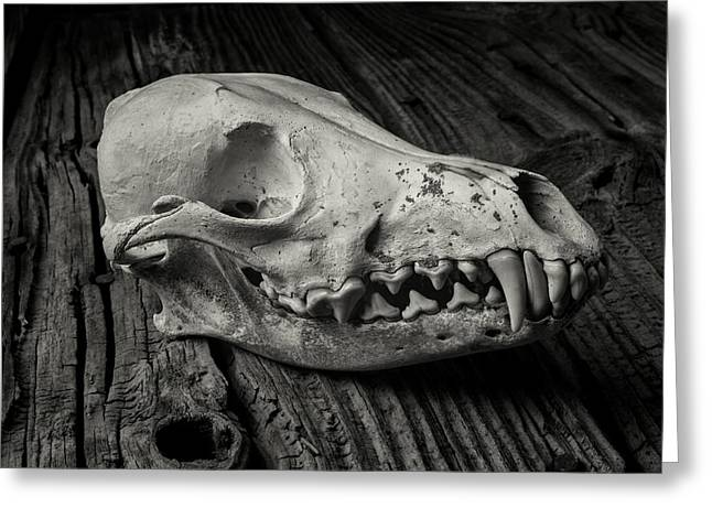 Fangs Greeting Cards - Coyote Skull In Black and White Greeting Card by Garry Gay