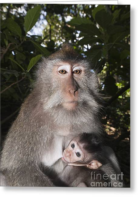 Crab-eating Macaque And Baby Greeting Card by Reinhard Dirscherl