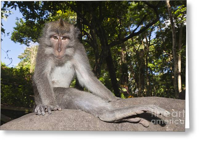Crab-eating Macaque Greeting Card by Reinhard Dirscherl