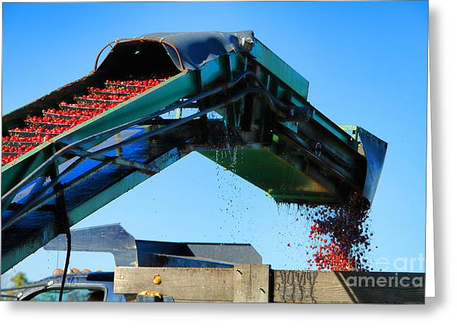 Cranberry Conveyor Greeting Card by Olivier Le Queinec