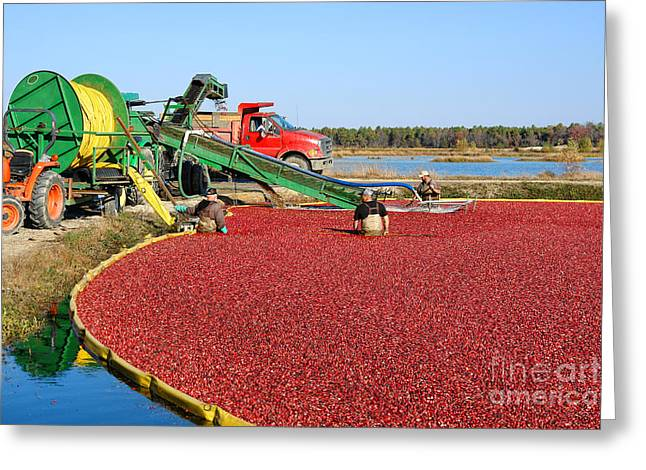 Cranberry Farming Greeting Card by Olivier Le Queinec