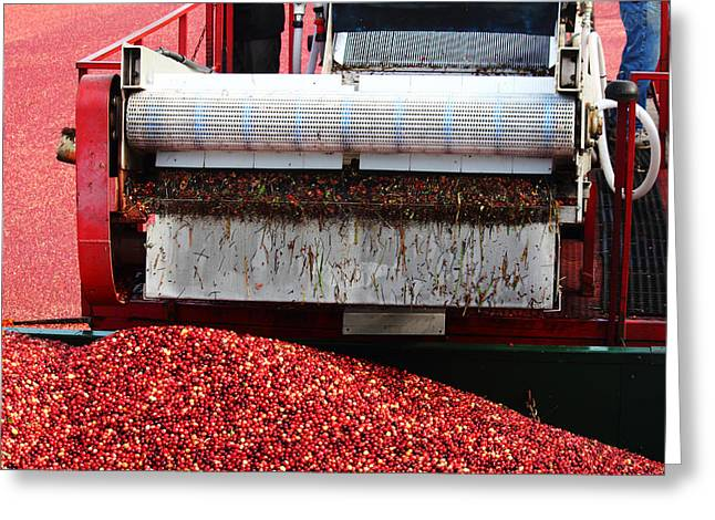 Andrew Pacheco Greeting Cards - Cranberry Harvest Greeting Card by Andrew Pacheco