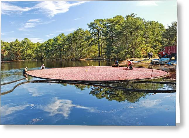 Cranberry Harvest Double Trouble State Park   Greeting Card by Geraldine Scull