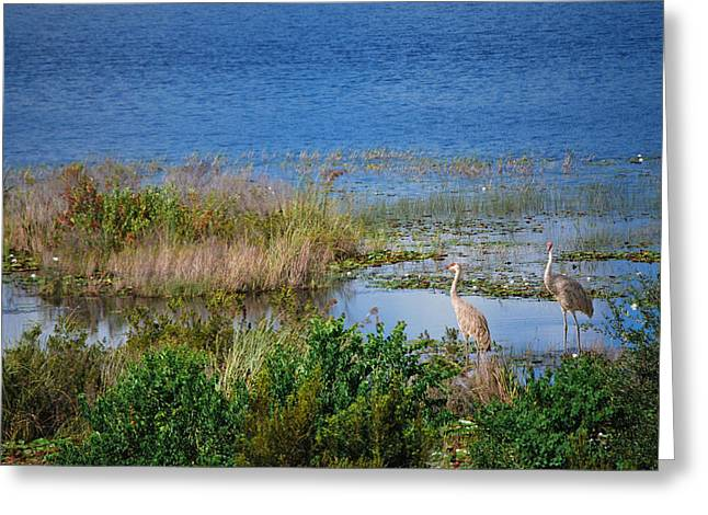 Sandhill Cranes Greeting Cards - Cranes in the Wetlands Greeting Card by Adele Moscaritolo