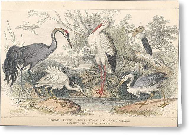 Crane Greeting Cards - Cranes Greeting Card by Oliver Goldsmith
