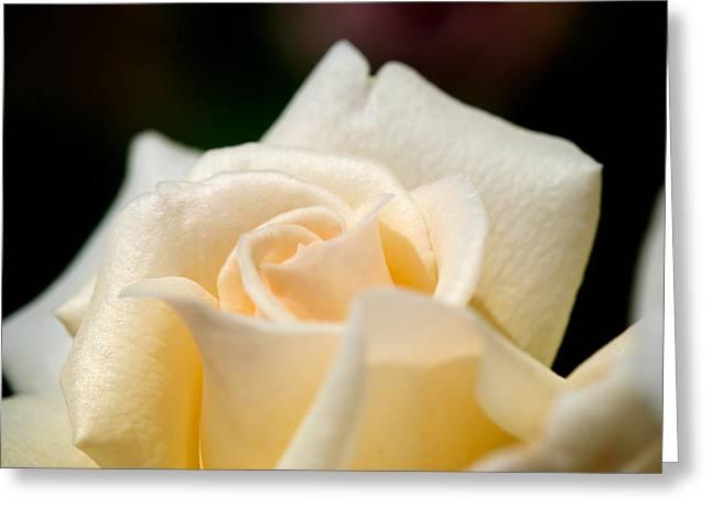 Cream Rose Kisses Greeting Card by Lisa Knechtel
