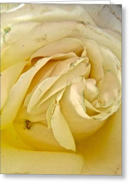 Rose Petals Greeting Cards - Creamy Rose Greeting Card by Stephanie Moore