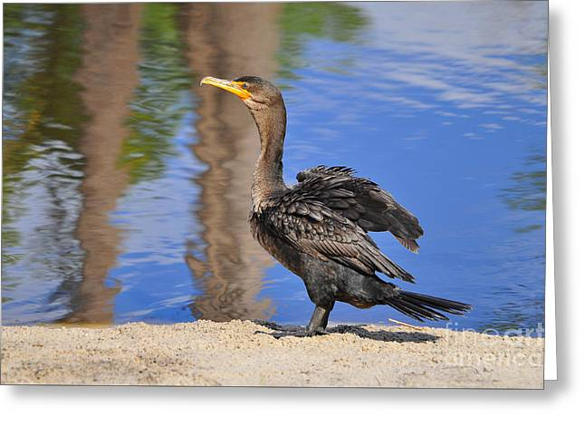 Double-crested Cormorant Greeting Cards - Creekside Cormorant Greeting Card by Al Powell Photography USA