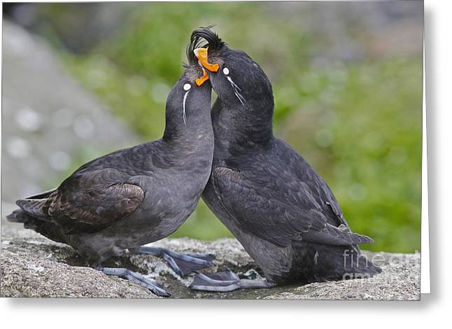 Crested Auklet Pair Greeting Card by Desmond Dugan/FLPA