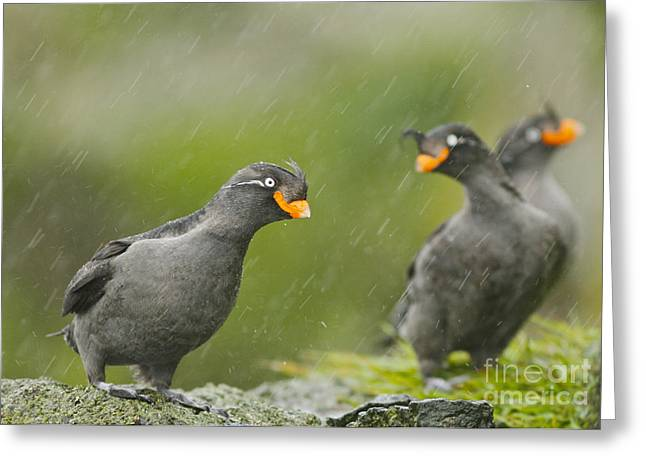 Crested Auklets Greeting Card by Desmond Dugan/FLPA