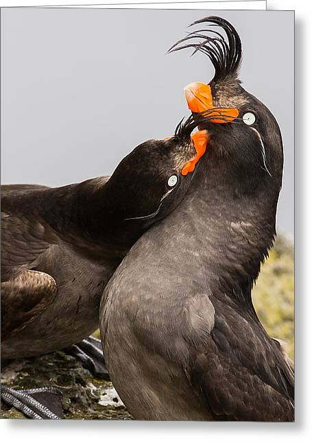 Crested Auklets Greeting Card by Sunil Gopalan