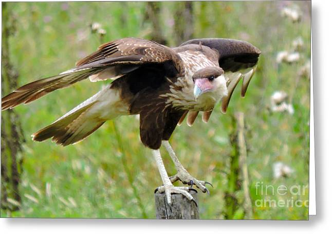 Hunting Bird Greeting Cards - Crested Caracara Greeting Card by Marilee Noland