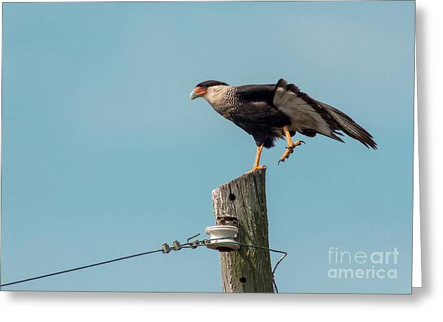 Cabin Window Greeting Cards - Crested Caracara Greeting Card by Robert Frederick