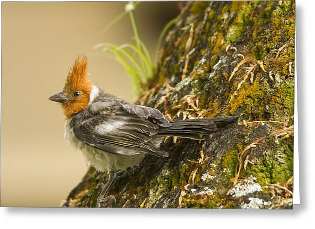 Red Crest Greeting Cards - Crested Cardinal Greeting Card by Bill Tiepelman