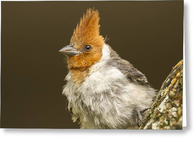 Red Crest Greeting Cards - Crested Up Close Greeting Card by Bill Tiepelman