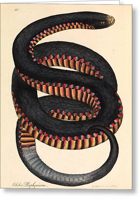 Crimson Drawings Greeting Cards - Crimson-sided Snake. Coluber porphyriacus Greeting Card by James Sowerby