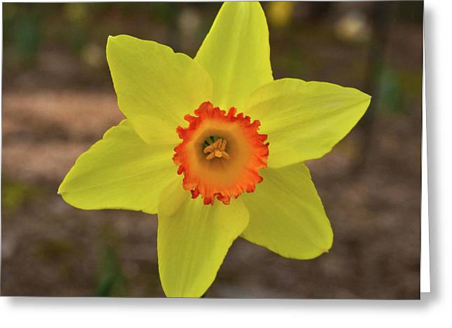 Crinkled Greeting Cards - Crinkled Daffodil Greeting Card by Douglas Barnett