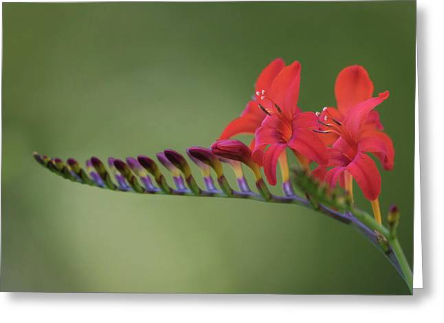 Crocosmia Greeting Card by Angie Vogel