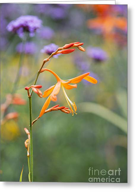 Crocosmia Golden Ballerina Greeting Card by Tim Gainey