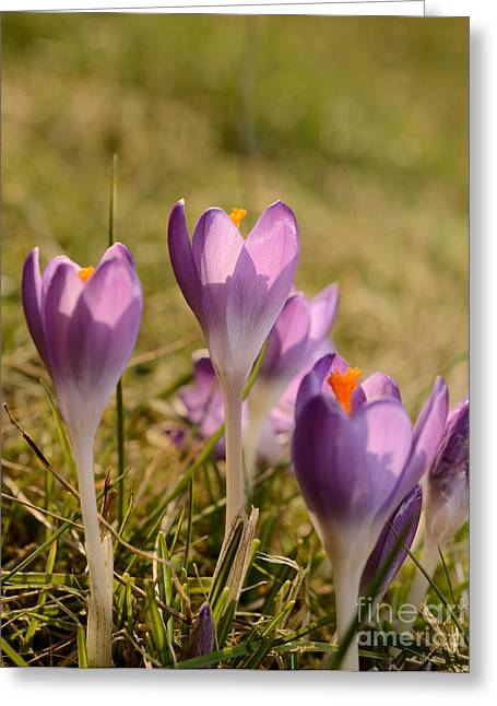 Condolences Greeting Cards - Crocus Greeting Card by Andreas Berheide