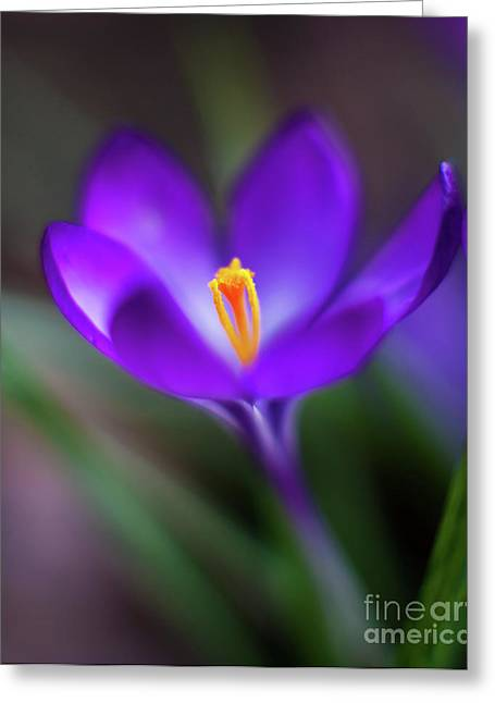 Crocus Glow Greeting Card by Mike Reid