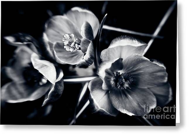 Van Dusen Botanical Garden Greeting Cards - Crocus Trio 2 Greeting Card by Venetta Archer