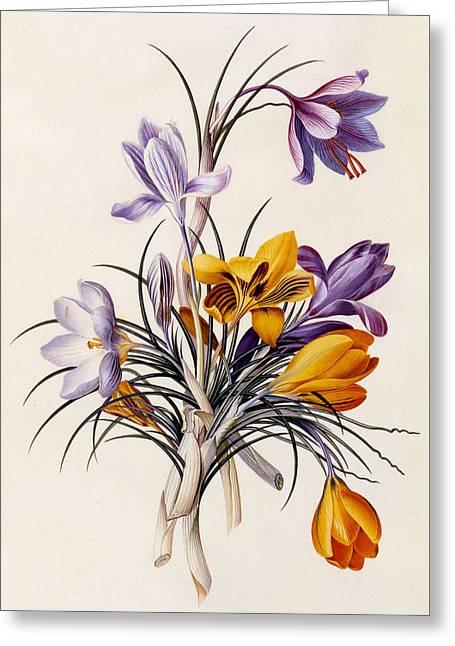 Violet Art Greeting Cards - Crocuses Greeting Card by Georg Dionysius Ehret