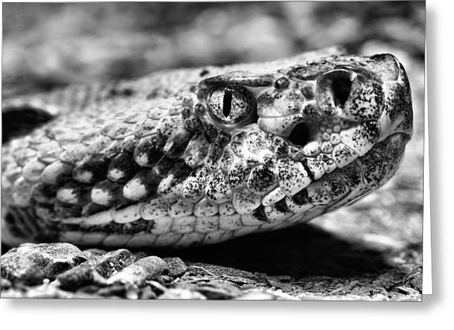 Crotalus Horridus Greeting Card by JC Findley